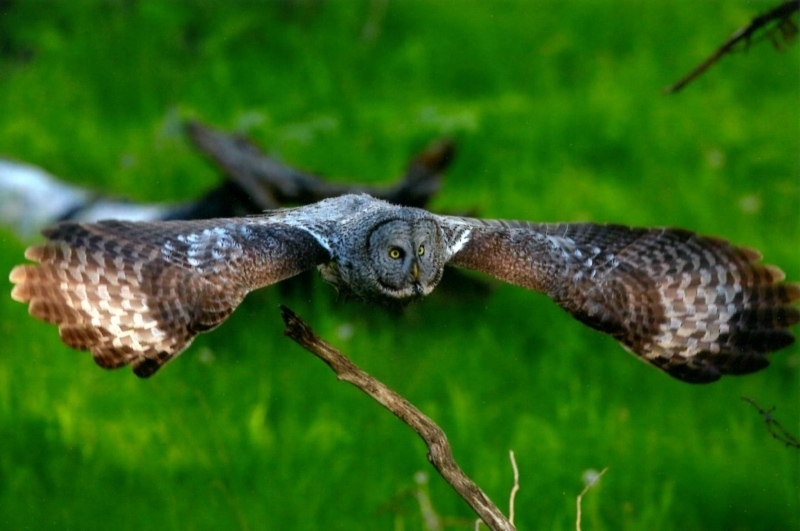Wildlife 2nd Place - Great Gray Owl Hunting in Flight - Chris Brownlee