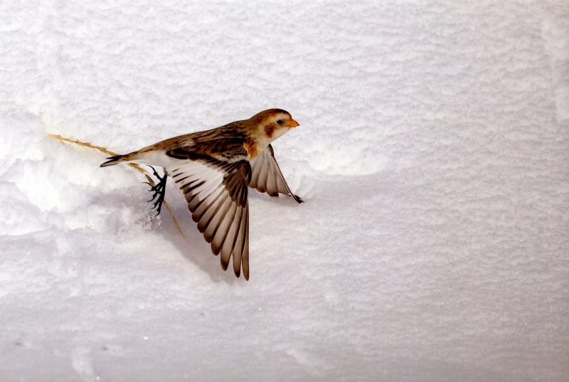 "Wildlife 2nd - ""Snow Bunting"""