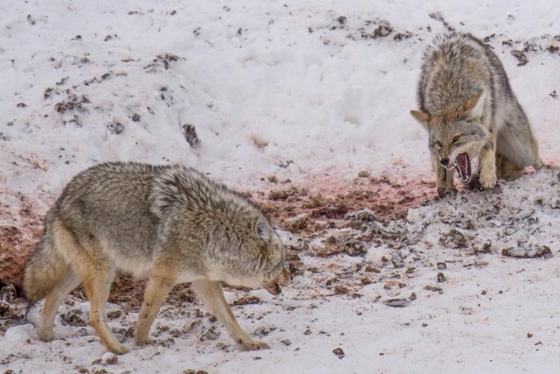 "Wildlife 3rd - ""Food Fight"""
