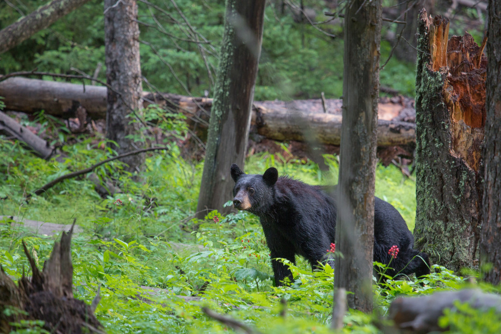 Attend a Bear Seminar to learn how to safely hike and camp in bruin country. Photo by Neal Herbert.