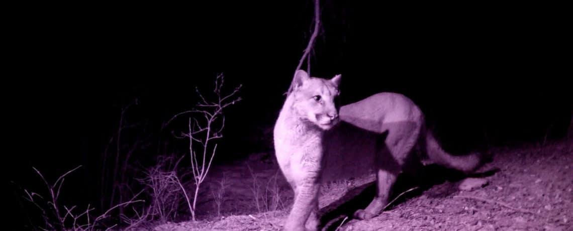 The Secret Lives of Mountain Lions