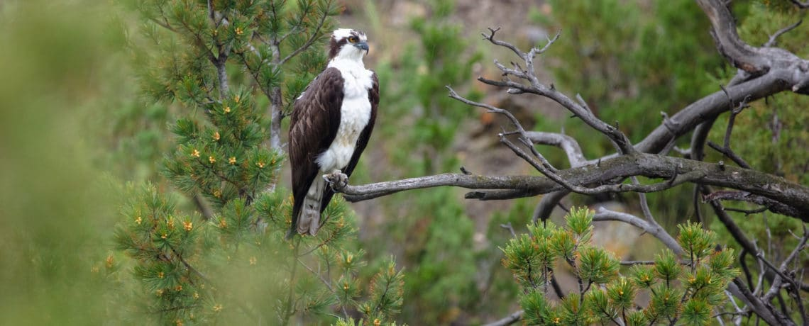 Yellowstone Raptors: Winged Predators