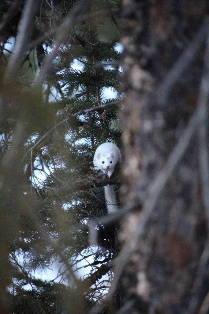 """Peeking Through"" / Wildlife 3rd Place / Jessie Knirsch /  Xanterra - Snow Lodge"