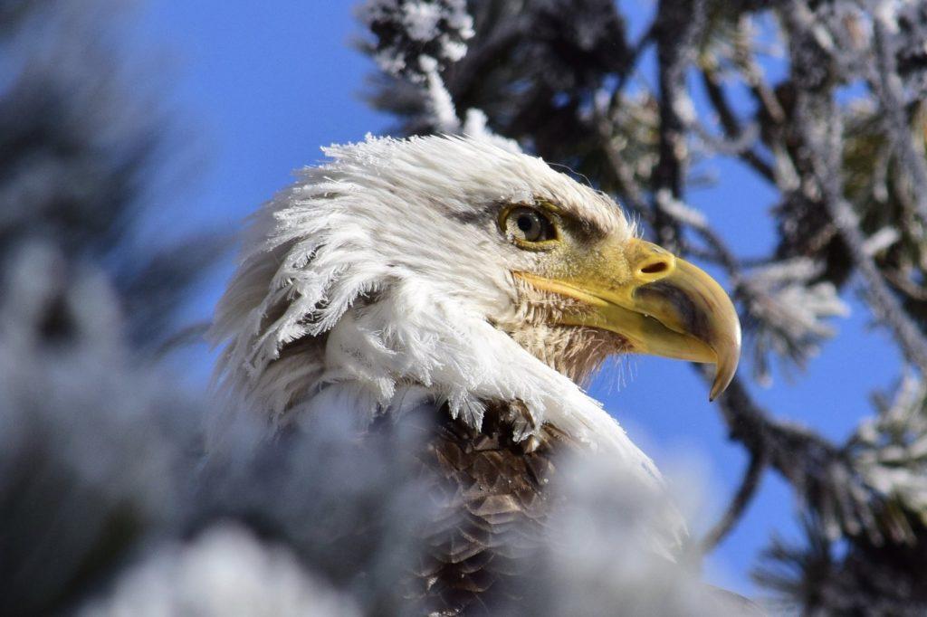 """Frozen Eagle"" /  Wildlife 2nd Place / Peter Goodman /  Xanterra - Gardiner"